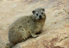 juvenile hyrax Стоковые Фото