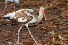 A Juvenile Ibis Royalty Free Stock Image