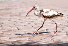 Juvenile Ibis Royalty Free Stock Images