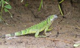 Juvenile Iguana, Costa Rica Royalty Free Stock Images