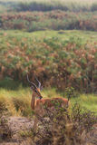 Juvenile impala Royalty Free Stock Photography