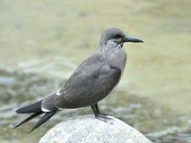 Juvenile Inca Tern (Larosterna inca) Royalty Free Stock Images