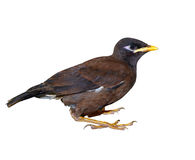 Juvenile Indian Mynah Royalty Free Stock Photos