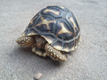 Juvenile Indian star tortoise hide inside shell. Cute image Stock Photography