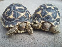 Juvenile Indian star tortoises. Playing Royalty Free Stock Image