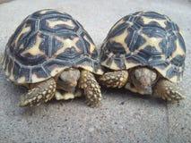 Juvenile Indian star tortoises Royalty Free Stock Image