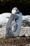 Juvenile Jackass Penguin Royalty Free Stock Photo