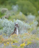 Juvenile Kangaroo Royalty Free Stock Images
