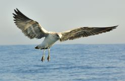 Juvenile kelp gull (Larus dominicanus), also known as the Domini Stock Photography