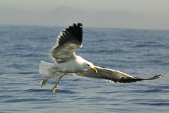 Juvenile kelp gull (Larus dominicanus), also known as the Domini Royalty Free Stock Image