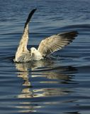 Juvenile Kelp gull (Larus dominicanus), also known as the Dominican gull Stock Image