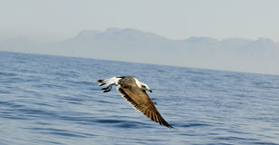 Juvenile Kelp gull (Larus dominicanus), also known as the Dominican gull Stock Photo