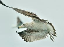 Juvenile Kelp gull (Larus dominicanus), also known as the Dominican gull Royalty Free Stock Photo