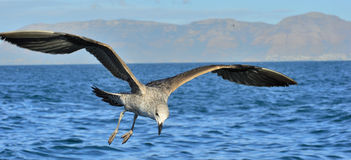 Juvenile Kelp gull Larus dominicanus in flight Stock Photo