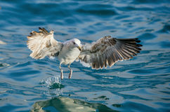 Juvenile Kelp gull Larus dominicanus in flight Royalty Free Stock Photos
