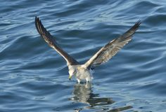 Juvenile Kelp gull Larus dominicanus in flight Stock Photography
