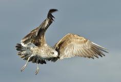 Juvenile Kelp gull (Larus dominicanus) in flight Stock Photo