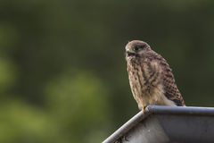 Juvenile Kestrel in a roof gutter Stock Photography