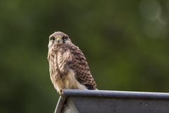 Juvenile Kestrel in a roof gutter Royalty Free Stock Photography