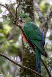 Wild Juvenile King Parrot, Queen Mary Falls, Queensland, Australia, March 2018. Juvenile King Parrot, Queen Mary Falls, Queensland, Australia, March 2018 perched royalty free stock image