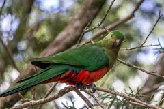 Wild Juvenile King Parrot, Queen Mary Falls, Queensland, Australia, March 2018. Juvenile King Parrot, Queen Mary Falls, Queensland, Australia, March 2018 perched royalty free stock photos