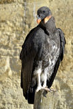 Juvenile King vulture Stock Image