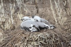 Juvenile Kittiwakes (Rissa tridactyla) Stock Photo
