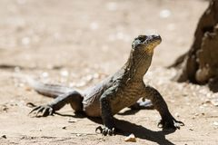Juvenile Komodo Dragon. A juvenile komodo dragon on the island of Rinca Royalty Free Stock Image