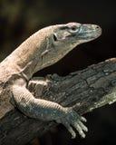 Juvenile komodo dragon Stock Image