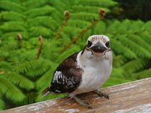A juvenile Kookaburra Stock Photos