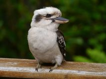 A juvenile Kookaburra Stock Photography