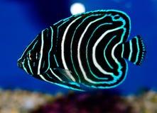 Free Juvenile Koran Angelfish Stock Image - 66548741