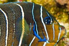 Juvenile Koran Angelfish in Aquarium. Juvenile Koran Angelfish (Pomacanthus, semicirculatus) in Aquarium royalty free stock photography