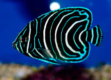 Juvenile Koran Angelfish. Pomacanthus semicirculatus in an aquarium with blue background. Semicircle Angelfish. The Koran Angelfish, also referred to as the Stock Image