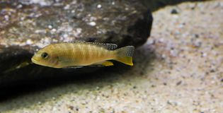Juvenile labidochromis perlmutt cichlid, a tropical fish from the lake malawi in Africa royalty free stock image