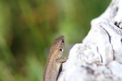 Juvenile lacerta viridis basking on rock Stock Photo