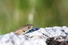 Juvenile lacerta viridis hiding Stock Image