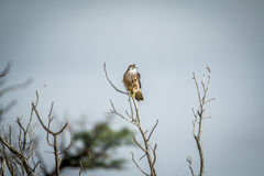 Juvenile Lanner falcon on a branch. Stock Photography