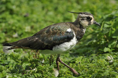 Juvenile Lapwing Royalty Free Stock Photo