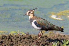 Juvenile Lapwing - Vanellus vanellus. Juvenile Lapwing on the shore - Vanellus vanellus Stock Photo