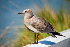 Juvenile Laughing Gull (Larus atricilla) Stock Photos