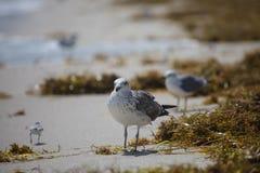 Juvenile of a laughing gull Leucophaeus atricilla. In Miami Beach, Florida Stock Images