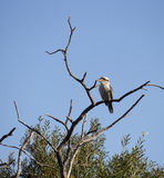 Juvenile Laughing Jackass or Australian Kookaburra in a tree. Stock Photo