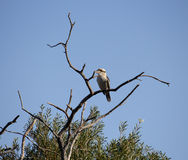 Juvenile Laughing Jackass or Australian Kookaburra in a tree. Royalty Free Stock Photography