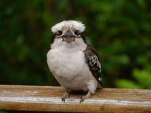 A juvenile Laughing Kookaburra Stock Photo