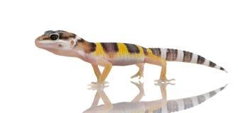 Juvenile Leopard gecko - Eublepharis macularius Stock Photo