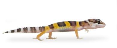 Juvenile Leopard gecko - Eublepharis macularius Stock Images