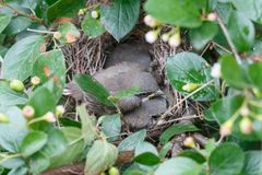Young grey warbler chicks lying in the nest royalty free stock photography
