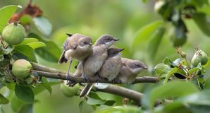 Juvenile Lesser whitethroats exercising together on apple tree branch royalty free stock images