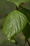 Juvenile lime tree single leaf. In sun, Poland,Europe royalty free stock photos